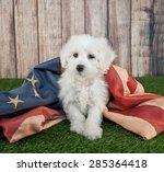 Cute Little Maltipoo Puppy...