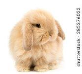 Baby Holland Lop Rabbit  ...