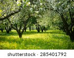Blooming Apple Trees In The...