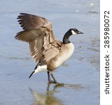 beautiful cackling goose... | Shutterstock . vector #285980072