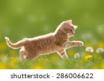Stock photo young cat plays with dandelion in back light on green meadow 286006622