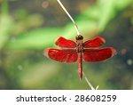 A Male Crimson Dropwing ...