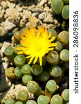 Small photo of Fenestraria rhopalophylla, Aizoaceae, South Africa