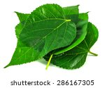 Mulberry Leaves Isolated On...