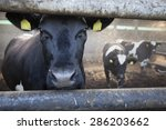 Young Black Cow In Stable...