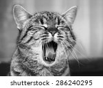 Stock photo yawning cat close up in blur background sleepy cat grey big cat funny cat in domestic background 286240295
