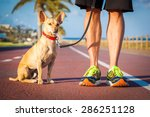 Stock photo chihuahua dog close together to owner walking with leash outside at the park as friends dog 286251128