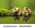 Two Amazon Milk Frog...