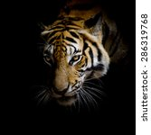 Close Up Face Tiger Isolated O...