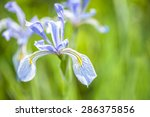 Macro View Of Lavender Irises...