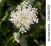 common yarrow  lat. achillea... | Shutterstock . vector #286386305