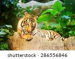 sumatran tiger roaring | Shutterstock . vector #286556846