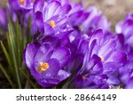 Purple Crocus Flower On The...