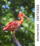 scarlet ibis  eudocimus ruber ...   Shutterstock . vector #286732826