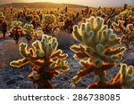 Cholla Cactus Garden From...