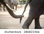 Close Up Elephant Trunk Holdin...