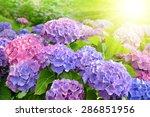 Purple Hydrangea Flower ...
