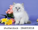 Stock photo siberian cats and kittens on beautiful neutral background perfect for postcards 286853018