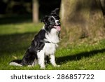 border collie outdoors on a... | Shutterstock . vector #286857722