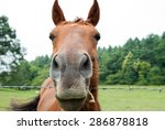 Stock photo horse face 286878818