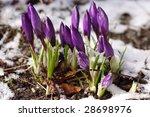 purple crocuses through the snow | Shutterstock . vector #28698976