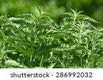 stinging nettle  urtica dioica  ... | Shutterstock . vector #286992032