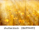 yellow flowers lit by sun rays  | Shutterstock . vector #286994492