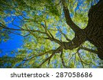 oak tree from below made in hdr | Shutterstock . vector #287058686