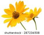 Jerusalem Artichoke Flower ...