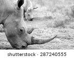 A Close Up Of A Female Rhino  ...