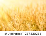 summer wheat field on a sunny... | Shutterstock . vector #287320286