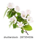 Apple Tree Branch With Blossom...