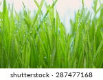 Fresh Grass With Dew Drops...