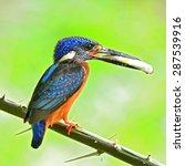 Small photo of Beautiful bird, male Blue-eared Kingfisher on feeding time.(Alcedo meninting)