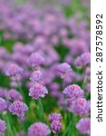 Small photo of Blooming onion Allium schoenoprasum in summer time close-up