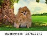 Pomeranian Playing In A Meadow...