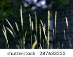 Spikelets Of Grass On A Green...