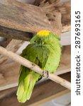 Yellow Naped Amazon Parrot ...