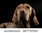 Hungarian Vizsla Portrait In...