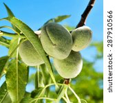 Small photo of closeup of a branch of almond tree with some green almonds against the blue sky