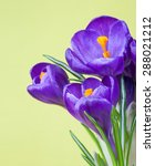 Delicate Purple Crocuses On A...