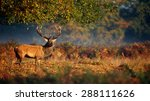 Red Stag Deer In Woodlands