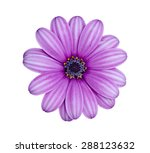 Purple Chrysanthemum Flower ...