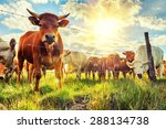 Herd Of Young Calves Looking A...