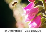 Bumble Bee Landing On Foxglove...