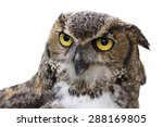 Stock photo close up of a great horned owl also known as the tiger owl it s a large owl native to the 288169805
