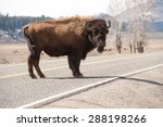 A Bison Pauses In The Middle O...