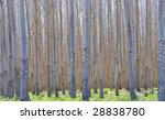 Thousands Of Hybrid Poplar...