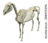horse skeleton anatomy  ... | Shutterstock . vector #288455396