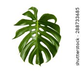 large green shiny leaf of... | Shutterstock . vector #288733685